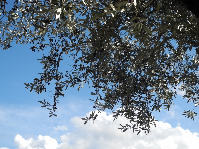 Olive tree fronds with olives on the branches against a blue sky with white clouds